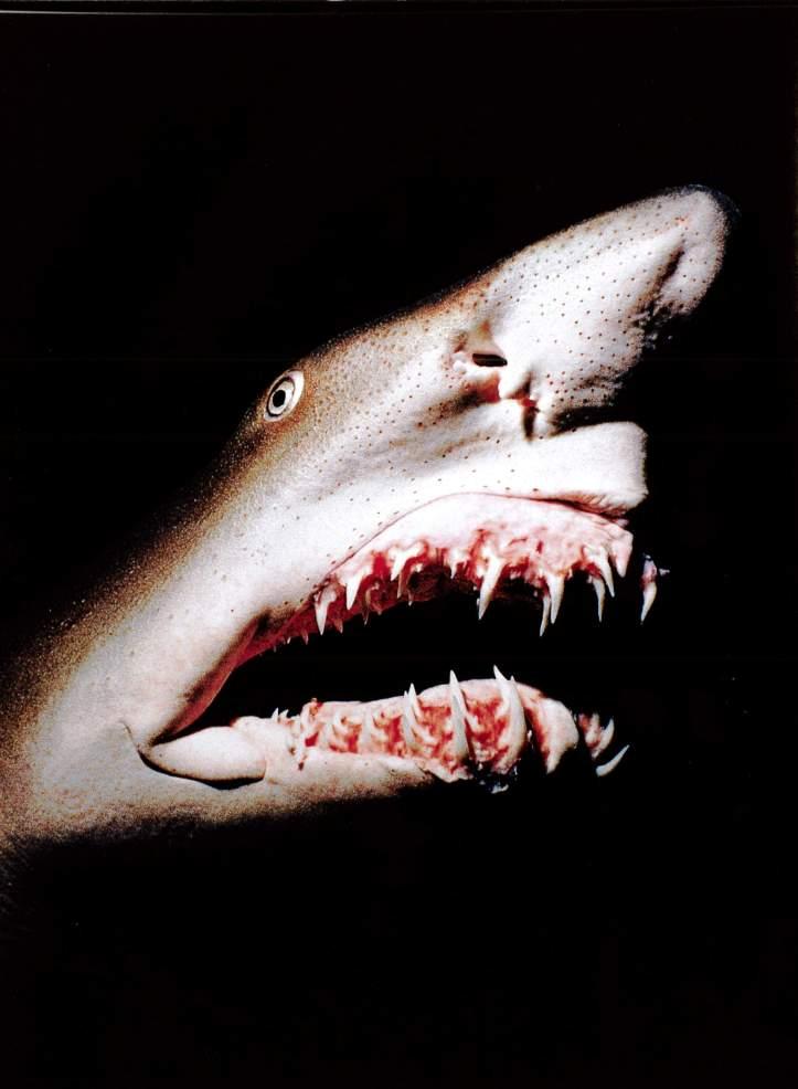 Deep Shark