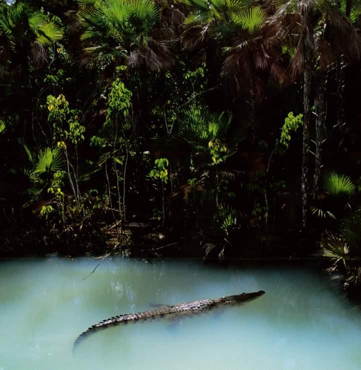 Rainforest Alligator